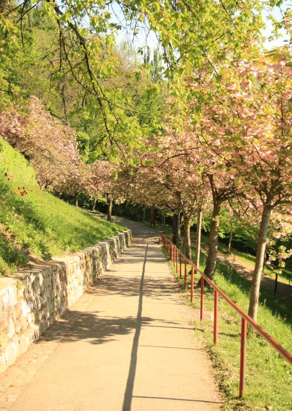 Grazin linnavuorella kukkivat kirsikat.